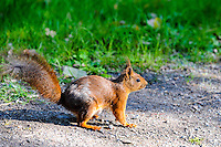 Sweden, Stockholm, Skansen zoo. Squirrel.