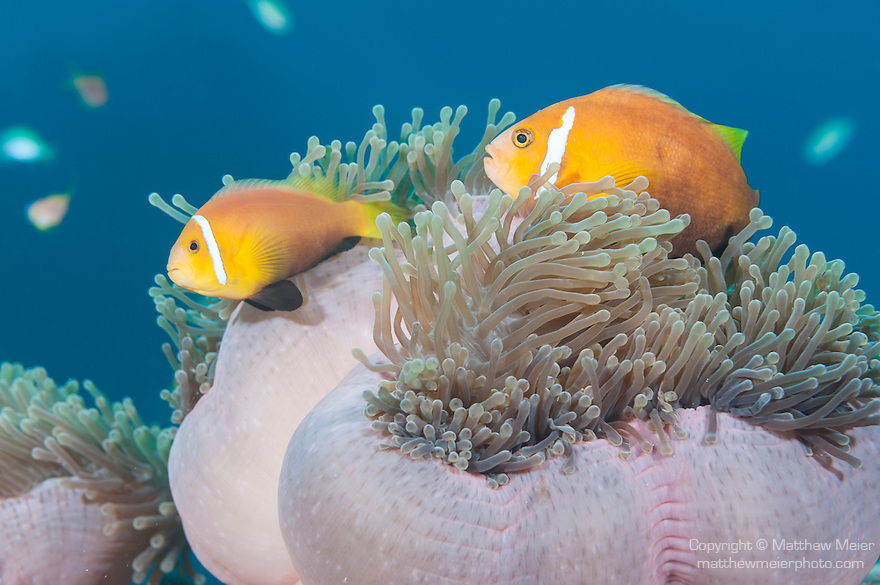Maamendhoo Giri, Maamendhoo Island, Laamu Atoll, Maldives; two Blackfinned Anemonefish (Amphiprion nigripes) in a pink Magnificent Sea Anemone