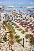 """Jambiani, Zanzibar, Tanzania.  Rows of Seaweed Planted by Village Women.  It can be harvested three weeks after planting.  After drying, it will be exported to Asia.  Women can only tend the fields during low tide.  Women receive about twelve cents per kilo, """"thin and dried."""""""