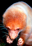 Captive female Spotted Cuscus eating bread, Popondetta, Papua New Guinea.   //  Spotted Cuscus - Phalangeridae: Spilocuscus (=Phalanger) maculatus. Body length of the different forms varies, in males to 50cm, plus tail of 50cm,  weight to 6kg; 49cm body + 49cm tail and to 3kg in females. A nocturnal arboreal marsupial from the lowland rainforests of the island of New Guinea. In Papua New Guinea several colour forms occur, from pure white individuals in the Madang Province of northern PNG, to very dark-brown spots and patches in the Manus Province form. Males are usually spotted, while females vary in color from pale grey to ginger. The coat is a very soft fur. Food includes leaves and fruit of a number of species of lowland plants. The skins of males are a popular decoration in the 'bilas' (ornamentation) during ceremonial dances. Occurs also in far northern rainforests of Queensland, where captives were probably transported by canoes during regular return visits by Torres Strait islanders and people of the south coast of Western Province, PNG Australian animals lack the ginger colouration in the pelage, males being grey and white, females all grey. IUCN Status: Least concern.   //  Dr Eric Lindgren, EL, PS /