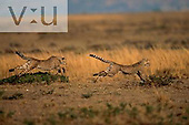 A pair of running Cheetahs. ,Acinonyx jubatus, Masai Mara, Kenya