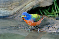 510440042 a wild male painted bunting passerina ciris drinks at a small pond on a private ranch in the coastal bend area of texas