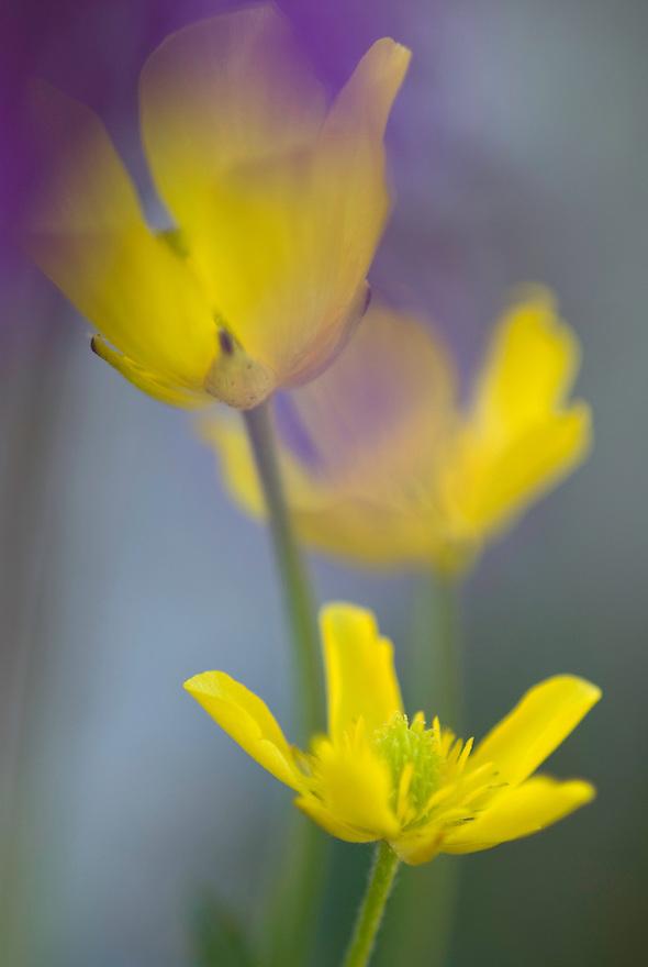 Apulia; Buttercup; Gargano National Park; Gargano Peninsula; Italy; Ranunculus