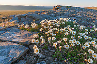 Mountain aven wildflowers, Utukok uplands, National Petroleum Reserve Alaska, Arctic, Alaska.