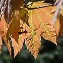 Acer japonicum, late April. Sometimes known as Full-moon maple.