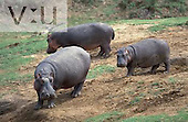 A Herd of Hippopotamus along the Mara River. ,Hippopotamus amphibius, Masai Mara Game Reserve, Kenya