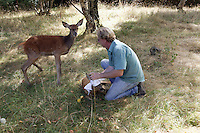 Roe Deer (Capreolus capreolus) and Red Deer (Cervus elaphus) injured and rescued at La Dame Blanche animal protection center being tended by a veterinarian, Normandy, France.