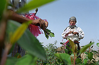 Harvesting qat in eastern Yemen. Many Yemeni men sit and consume this narcotic plant for several hours a day, chewing the leaves to a pulp stored in the cheek like a golf ball. As well as occupying much of the prime agricultural land the qat crop also consumes a large percentage of Yemen's critically scarce water resources. The leaves are picked daily, taken to the nearest market, sold and chewed after lunch the same day.