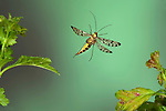 Scorpionfly, Panorpa communis, female, In flight, free flying, High Speed Photographic Technique .United Kingdom....