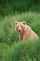 Brown bear sow along the bank of the Brooks river, Katmai National Park, southwest, Alaska.