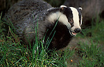 Badger, Meles meles, captive, foraging in grass, looking mouth open showing teeth .United Kingdom....