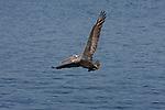 brown pelican in flight over Monterey Bay