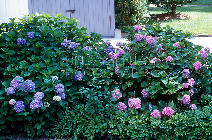 HYDRANGEA FLOWER COLOR VARIES WITH SOIL pH<br /> Blue Indicates Acidic Soil, Pink Indicates Basic.
