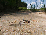 Fiddler Crab, Jeremy Island, Intracoastal Waterway, McClellanville, South Carolina, USA