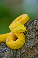 489180025 a captive golden yellow with black flecks eyelash viper bothriechis schlegelii sits coiled on a tree limb species is native to south and central america