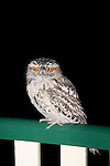 An Australian Tawny Frogmouth visits a suburban deck at night.   //  Tawny Frogmouth - Podargidae: Podargus strigoides. Length to 45cm, wingspan to 80cm, weight to 500g.  Also known as Tawny-shouldered Frogmouth, (or incorrectly as Mopoke, Morepoke and Frogmouth Owl).  Found in open woodland throughout Australia, Tasmania, southern New Guinea. Nocturnal, preys on arthropods, such as insects and spiders,  and small vertebrates scooped mainly from the ground with its broad beak. Sleeps during the day singly, pairs or family parties either on a horizontal branch in the canopy, usually close to the trunk or, uncommonly,  on the ground.  Weak anisodactyl toes useless for catching prey. IUCN Status: Least Concern   //Eric Lindgren/ /