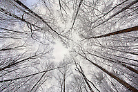 """ICY TREES"" -- Snow and ice cling to trees as a snowstorm clears in Great Smoky Mountain National Park."