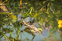 Very common across all of Florida, as well as in lower elevations along the Georgia, Virginia and Carolina coasts, the Florida cooter is a medium to large freshwater turtle. Known for its large social groups these turtles are often seen basking together on logs in large numbers in the sun - often alongside alligators.