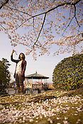 A Japanese lady enjoying the Japanese cherry blossoms (sakura) on a warm afternoon in Spring.