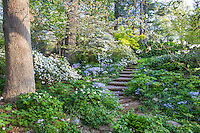 Pathway leading through spring woodland garden with flowering ephemeral groundcovers and Snow azaleas, Boninti Garden, Virginia