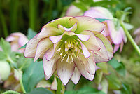 Helleborus x hybridus Party Dress Group type - pink hellebore