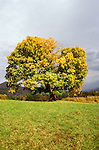 TN: Tennessee; Great Smoky Mountains National Park; Cades Cove; tree with fall leaves.Photo Copyright: Lee Foster, lee@fostertravel.com, www.fostertravel.com, (510) 549-2202.Image: tnsmok209