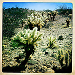 Cholla cactus after spring rains, Anza-Borrego Desert, California, USA.