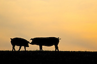 Pigs at  sunset at Sheepdrove Organic Farm, Lambourn, England where Camborough sows are kept with Duroc boars.