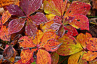 &quot;Bunchberries in Fall&quot;<br /> <br /> Bunchberries in full autumn color.