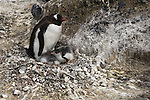 A Gentoo penguin on its nest with chicks on Brown Bluff in Antarctic Peninsula.
