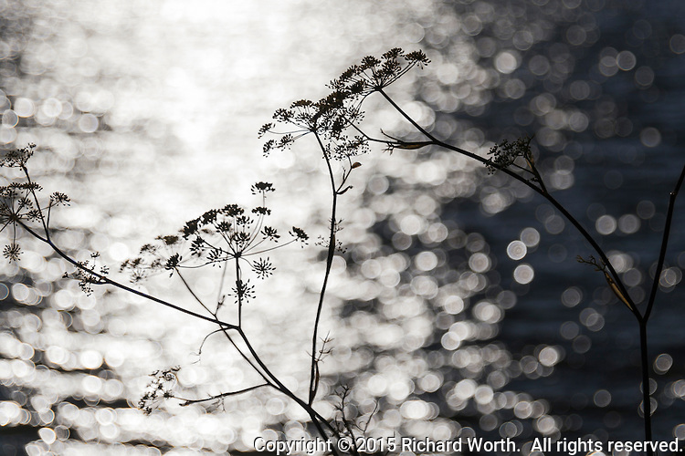 Sweet Fennel, well past its prime, stands in silhouette against the sparkling waters of San Francisco Bay.  Fading with style.
