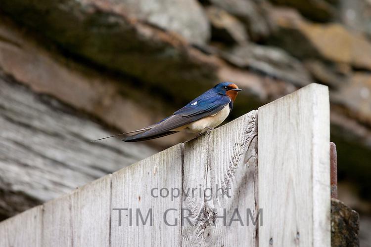 Barn Swallow, Hirundo rustica, perched on barn door near Watendlath in the Lake District National Park, Cumbria, UK