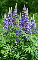 &quot;Wild Lupine&quot;<br />
