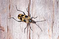 Gelber Vierfleckbock, Pachyta quadrimaculata, Leptura octomaculata, Longhorn Beetle