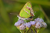 345320002 a wild silver-banded hairstreak butterfly chlorostrymon simaethis at  the naba site in mission hidalgo county lower rio grande valley texas united states