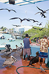 Puerto Ayora, Santa Cruz Island, Galapagos, Ecuador; a Galapagos Sea Lion (Zalophus wollebaeki) waits to be fed the scraps from fishermen cleaning and fileting fish at the fishing pier at Pelican Point, while frigatebirds fly overhead and pelicans wait on the ground for their share of the spoils , Copyright © Matthew Meier, matthewmeierphoto.com All Rights Reserved