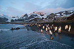 King and Gentoo penguins stand on the beach of Gold Harbour at sunrise at South Georgia Island.