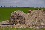 Chopped cornstalks formed into bails in a field near Madison, Wisconsin. ..