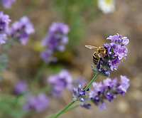 Honeybee on English Lavender (Lavandula angustifolia)