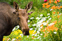 A young bull moose grazes among garden flowers in Anchorage.