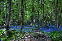A path littered with last autumn's leaves leads into a beech wood carpeted with bluebells