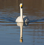 Whooper swan, Cygnus cygnus, swimming forwards in water, reflection, lake Kussharo-ko, Hokkaido Island, Japan, japanese, Asian, wilderness, wild, untamed, ornithology, snow, graceful, majestic, aquatic.Japan....
