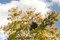 Robinia pseudacacia 'Frisia' with mistletoe growing in tree, Viscum album