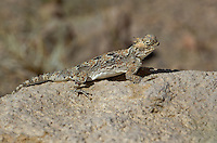 437800005 a wild southern desert horned lizard phrynosoma platyrhinos calidiarum suns on a large rock in mono county california