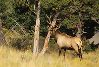 Elk, Wapiti (Cervus elaphus), bull rubbing tree, Yellowstone National Park, Wyoming, USA