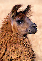 Pure bred brown LLAMA - CALIFORNIA LLAMA FARM