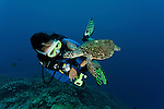 Hawksbill turtle (Eretmochelys imbricata) friendly and checking out divers.