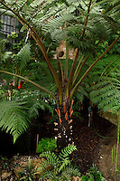 """Plant History Glasshouse (formerly the Australian Glasshouse), 1830s, Charles Rohault de Fleury, Jardin des Plantes, Museum National d'Histoire Naturelle, Paris, France. Low angle view of a Cyathea Australis tree fern. The glass and metal roof structure is visible through a """"window"""" between the leaves"""