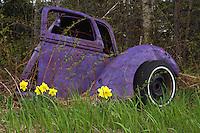 Purple Truck Daffodils  #F35