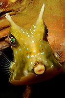 Longhorn cowfish, Lactoria cornuta, are found in the tropical Pacific. Papua New Guinea, Pacific Ocean